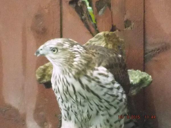 Sharp Shinned hawk eating its prey 10-3-15