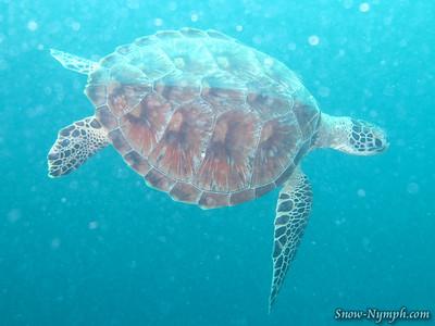 2011 (Mar 6)  Taka Dives, Dive 1, Drift Dive #10, Dive 2 Lighthouse Bommie,  Dive 3 & 4 (night dive) Vertical Gardens,
