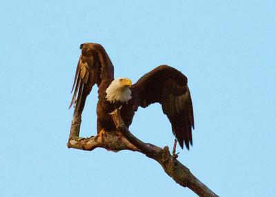 Doylestown Eagles