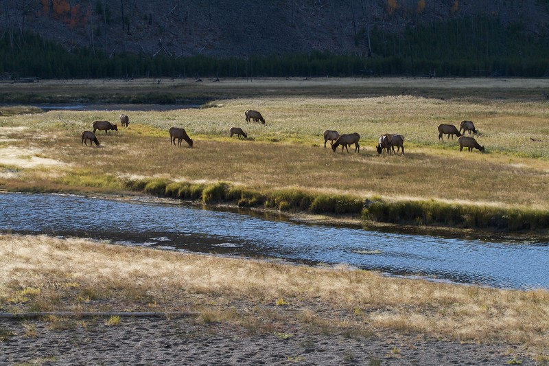 This group of 14 (15?) cows is likely the harem of a single bull Elk [September; Yellowstone National Park, WY]