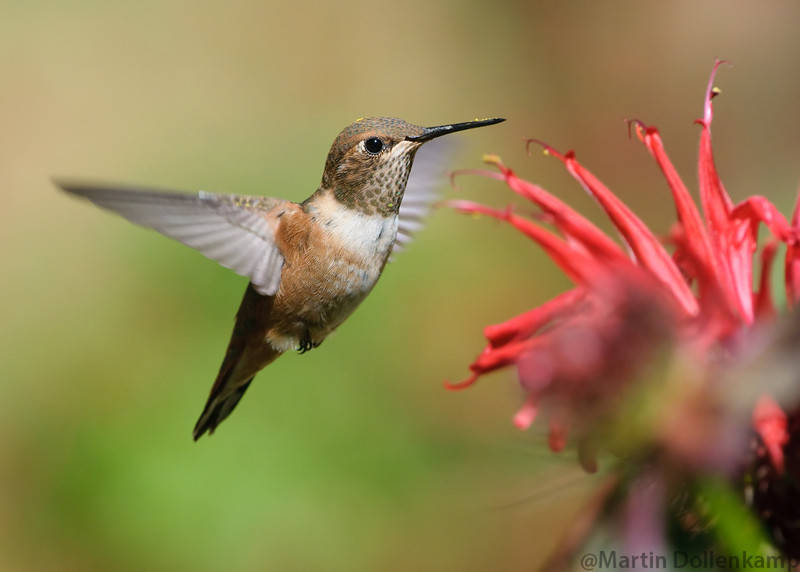 Rufous Hummingbird, juvenile male, at the Bee Balm