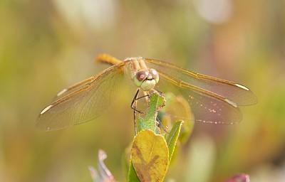 Sympetrum costiferum (Saffron-winged Meadowhawk)