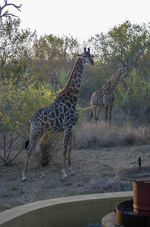 A Visit to Hoedspruit - Giraffe around the House (8 Photographs)