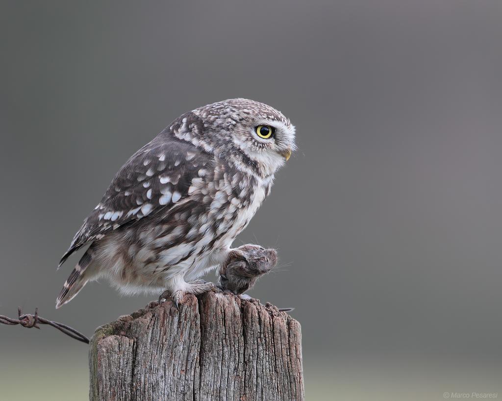 8. Little Owl