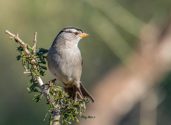 White-crowned Sparrow LL_DWL4546.jpg