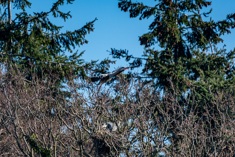 Grey Heron leaves the nest-16.jpg
