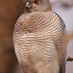 Close up of a Shikra (Accipiter badius) on a branch in Ranthambhore