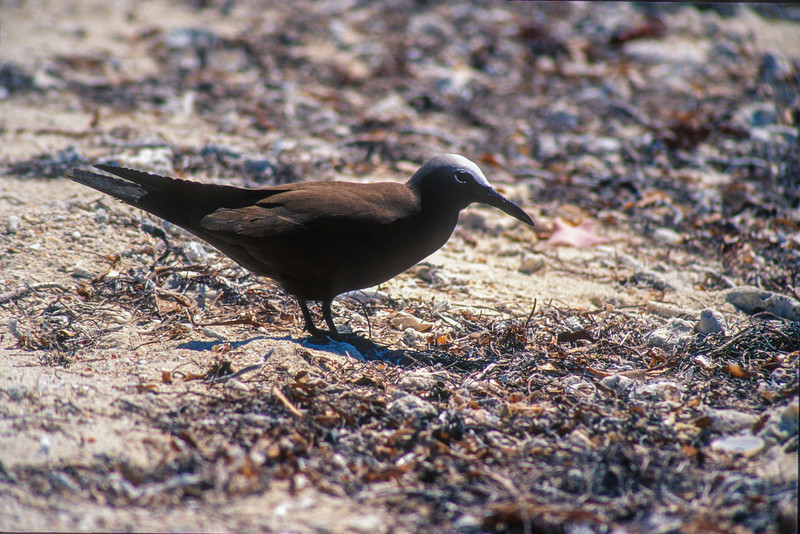 Brown Noddy nesting colony Dry Tortugas FL SLIDE SCAN BIRDS-58.jpg