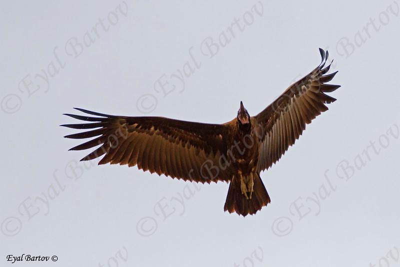 Hooded vulture, Necrosyrtes monachus רחם הכיפה