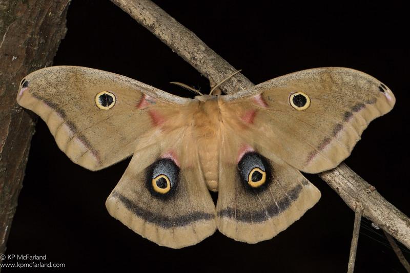 Polyphemus Moth (Antheraea polyphemus) female