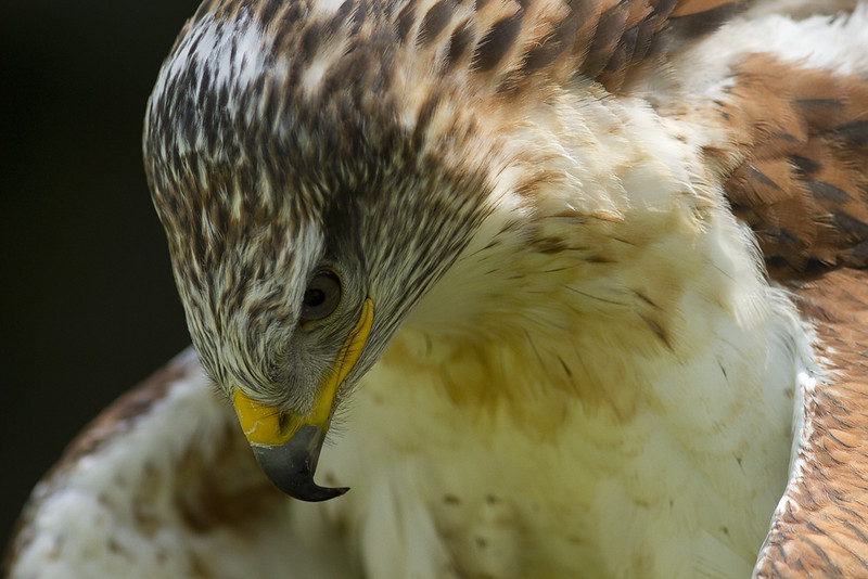 ferrugenous hawk.jpg