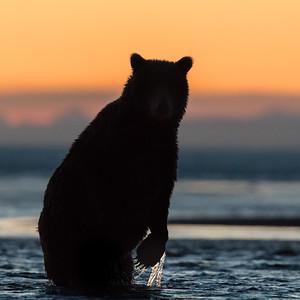 Coastal Brown Bears of Alaska, 2018