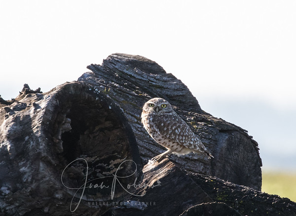 Burrowing Owl on Wookey Rd in Chico