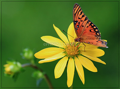 PRINT-COLOR-MASTER-GOLD-GULF FRITILLARY FORAGING-JACK MIGLIORE