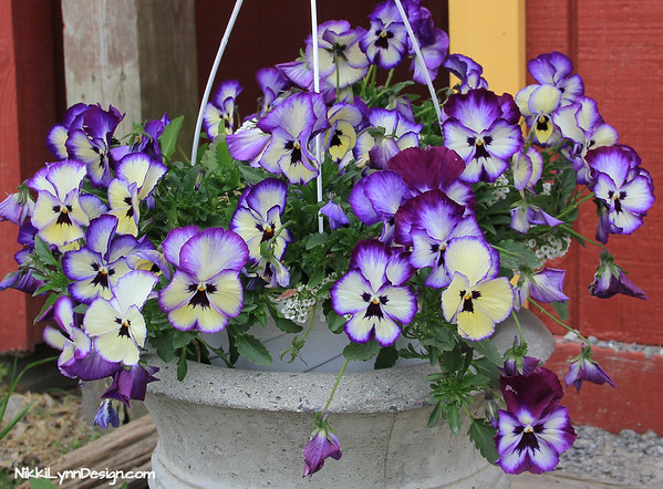 This annual is the perfect touch for adding color to flower gardens and planters. You can toss the flowers in salads or use them as a garnish. Some flowers have a wintergreen flavor to them as the season wears ons.