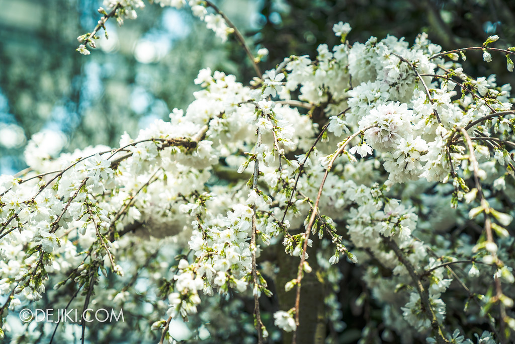 Gardens by the Bay - Sakura Matsuri 2018 floral display - raining white sakura