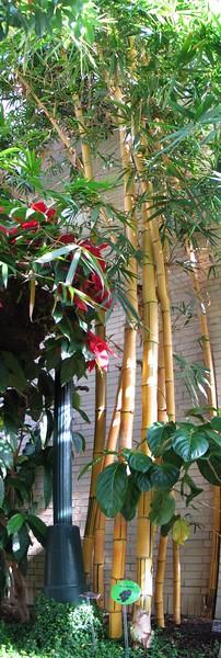 bamboo vulgaris.jpg