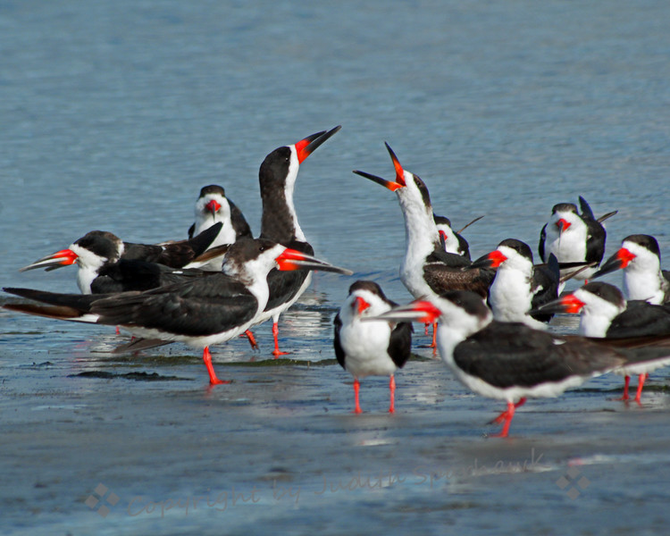 Black Skimmers Gossiping ~ This is just a small portion of the whole skimmer flock I was photographing in San Diego.  I liked this one for the interaction between the birds.  Looked like a good old-fashioned gossip-fest to me.
