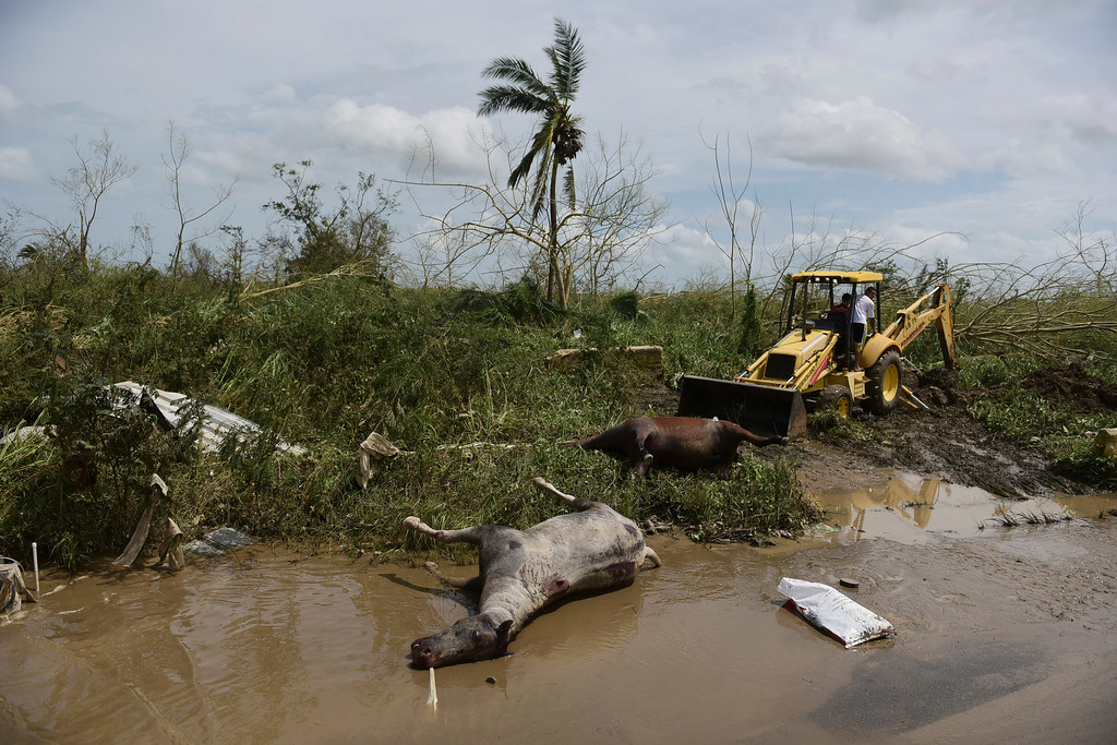. Dead horses lie on the side of the road after the passing of Hurricane Maria, in Toa Baja, Puerto Rico, Friday, September 22, 2017. Because of the heavy rains brought by Maria, thousands of people were evacuated from Toa Baja after the municipal government opened the gates of the Rio La Plata Dam. (AP Photo/Carlos Giusti)