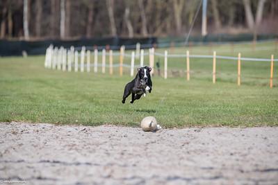 Hondenrennen Westerlo