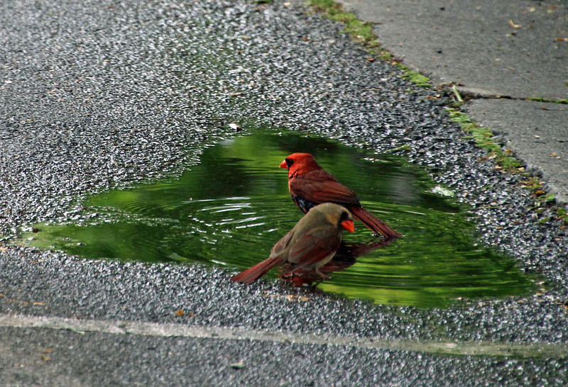 Cardinals bathing