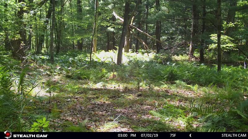 7-1-19 through 7-11-19...deer, racooons, coyote, bobcat, fawn