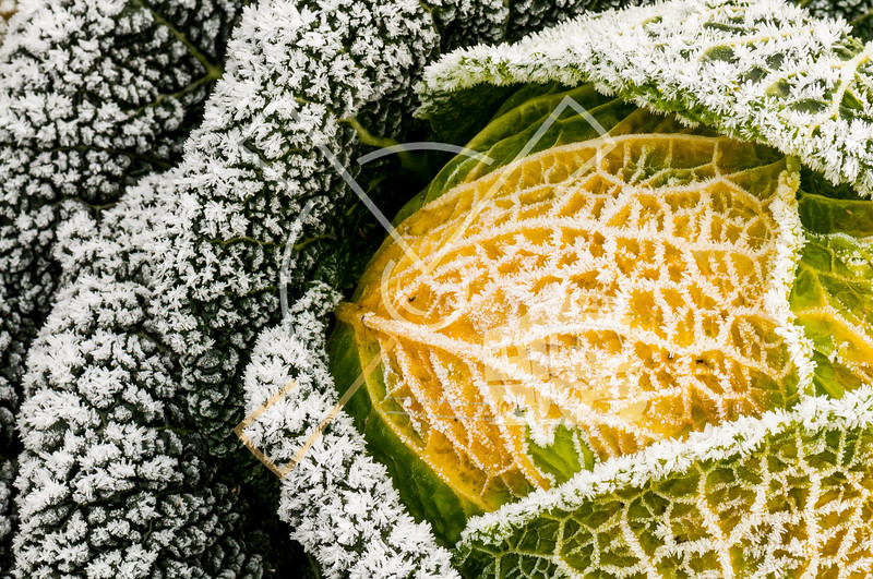 Savoy cabbage in winter