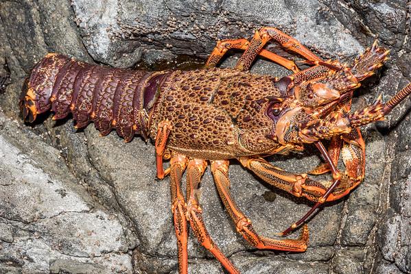 Jasus edwardsii - Red spiny rock lobster