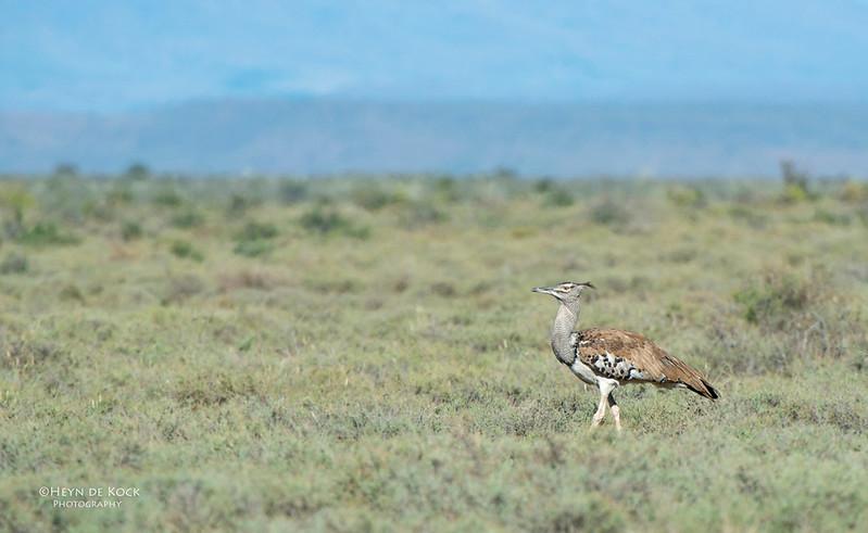 Kori Bustard, Karoo NP, WC, SA, Jan 2014.jpg