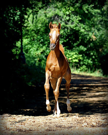 Chestnut Foal SIGNED