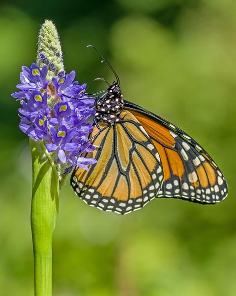 Monarch Butterfly on Pickerel Rush Flower