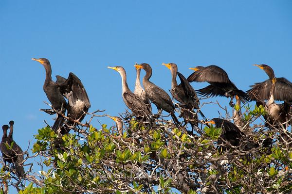 9039 Cormorants roosting in the Ten Thousand Islands