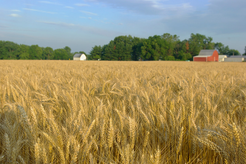 Wheat field 006.jpg