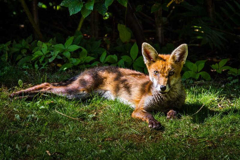 Fox cub relaxing in the sun