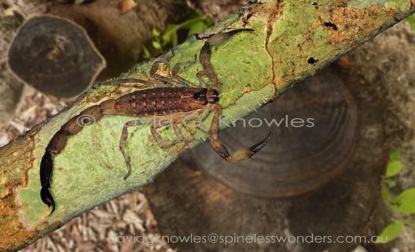 ARACHNIDS South East Asia Scorpionida (Scorpions)