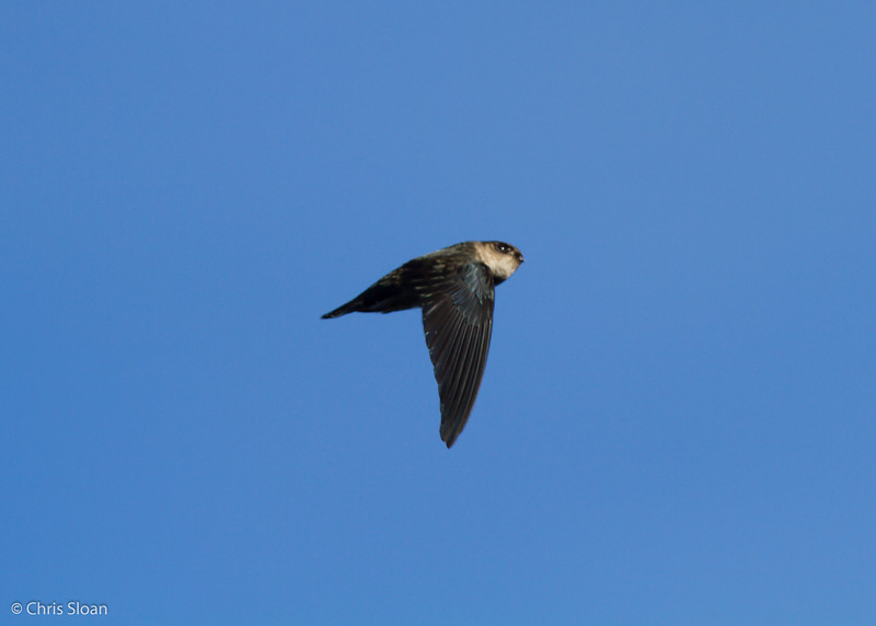 Mountain Swiftlet at Ambua Lodge, Papua New Guinea (10-06-2013) 1679.jpg