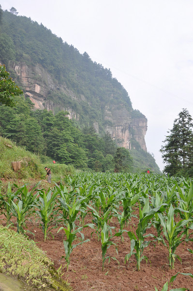 Some of the crops being grown behind the farmer's house.  A lot of what's grown here is rice -- rice is a staple of southern Chinese diets, but not as common in the north, where noodle rule.