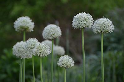 Allium 'Mount Everest'.jpg