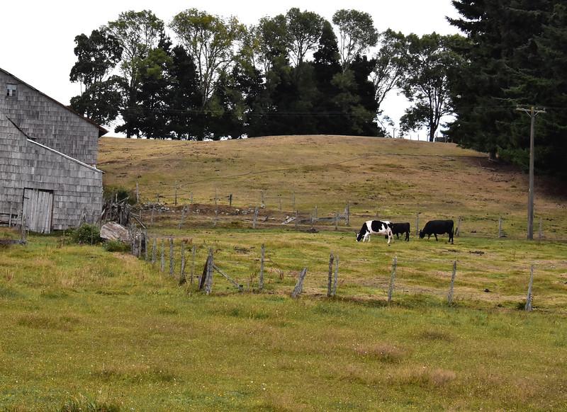 2016 P Varas cows near barn.jpg