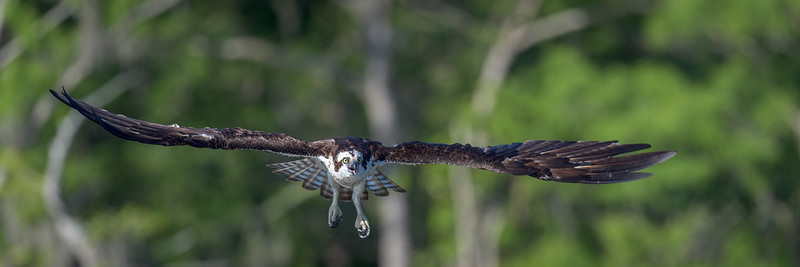 2021_KSMetz_Florida_Osprey Trip_April06_NIKON D5_0673.jpg
