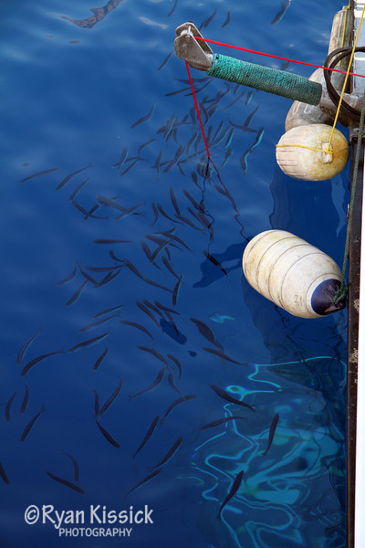 Mackerel gather on the surface above the Nautilus Explorer's submersible cage
