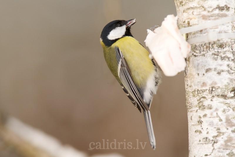 Great Tit in winter at bird feeder