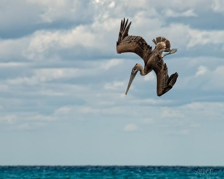 Pelican_14
