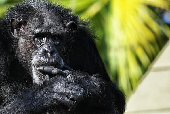 Chimpanzees - ZooTampa - Tampa, FL