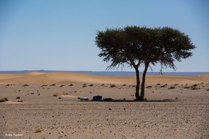 עץ שיטה במדבר.jpg