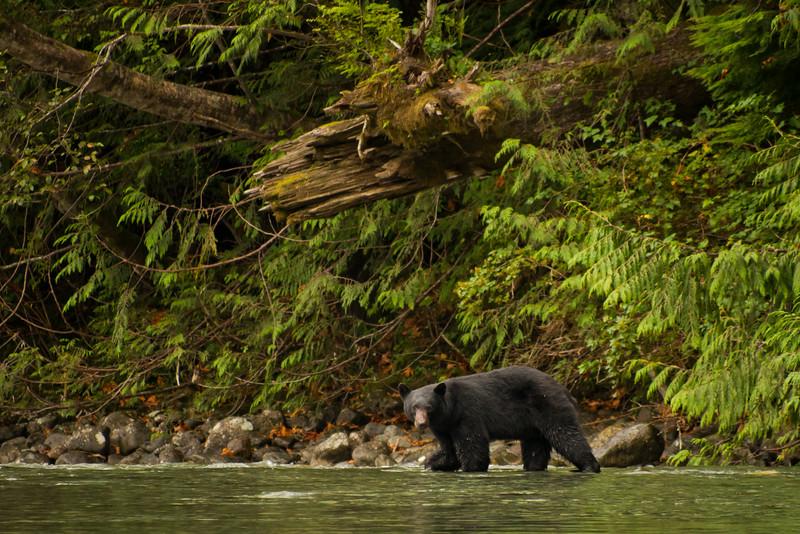 Black bear looking for Sockeye Salmons