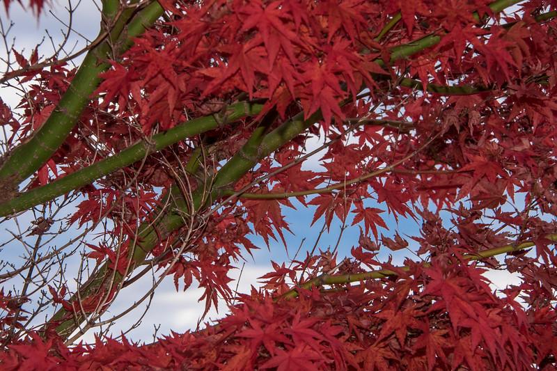autumn red 1.jpg