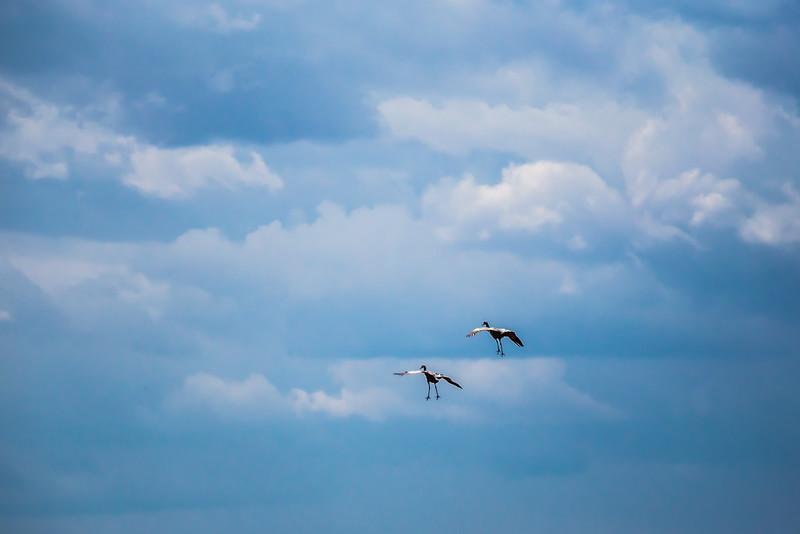Incoming - Sandhill Crane Landing
