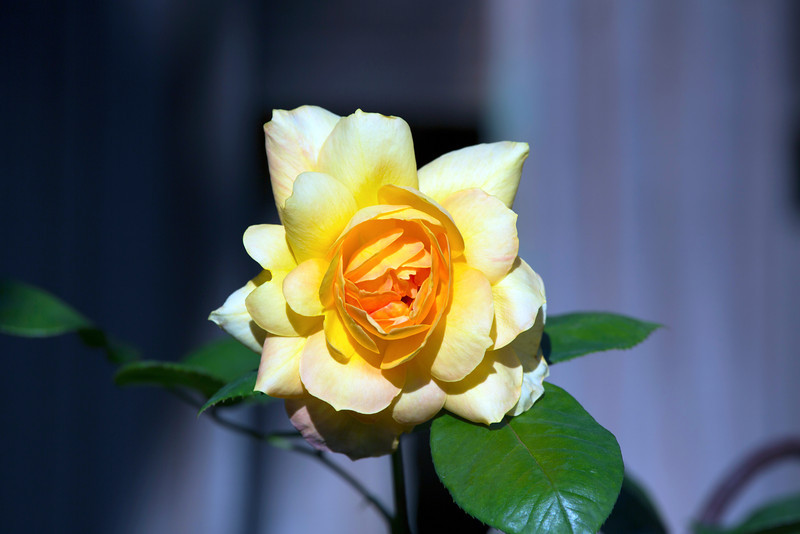 Yellow rose in full bloom.