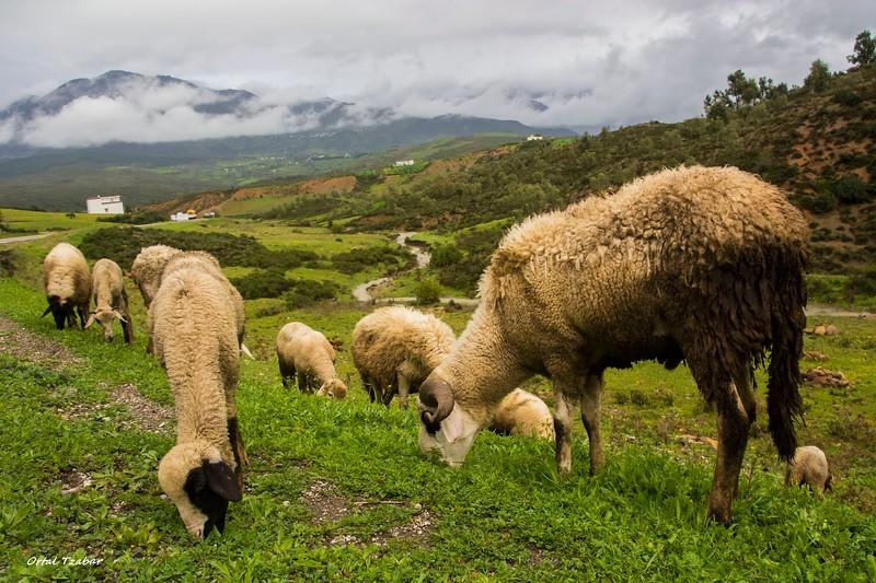 כבשים בהרי האטלס.jpg
